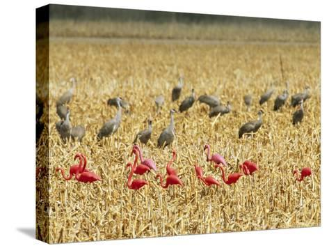 Sandhill Cranes Share a Cornfield with Plastic Pink Flamingos-Joel Sartore-Stretched Canvas Print
