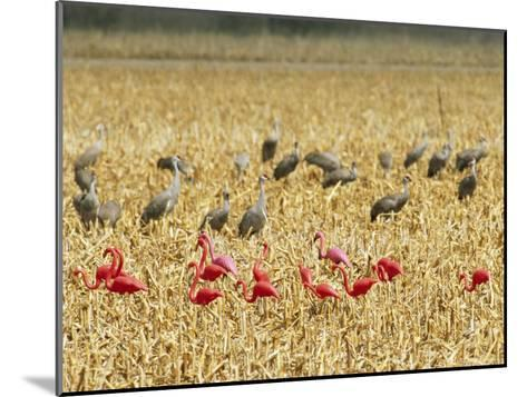 Sandhill Cranes Share a Cornfield with Plastic Pink Flamingos-Joel Sartore-Mounted Photographic Print