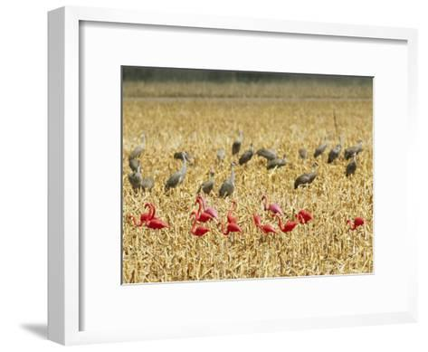 Sandhill Cranes Share a Cornfield with Plastic Pink Flamingos-Joel Sartore-Framed Art Print