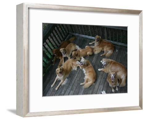A Happy Group of Golden Retrievers Relax Together--Framed Art Print