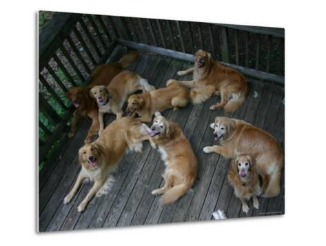A Happy Group of Golden Retrievers Relax Together--Metal Print