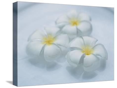 Plumeria Singapore Obtusa Blossoms Float in a Bowl of Water--Stretched Canvas Print