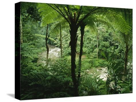 The Agung River Cuts Through a Dense Rain Forest of Ferns and Trees--Stretched Canvas Print