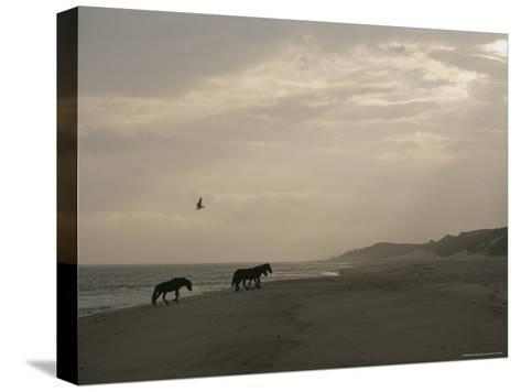 A Group of Wild Horses in the Dunes of Sable Island--Stretched Canvas Print