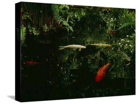 Orange and White Japanese Koi Drift in a Pond Near Green Ferns--Stretched Canvas Print
