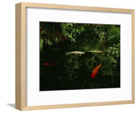Orange and White Japanese Koi Drift in a Pond Near Green Ferns--Framed Art Print
