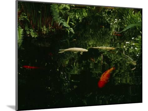 Orange and White Japanese Koi Drift in a Pond Near Green Ferns--Mounted Photographic Print