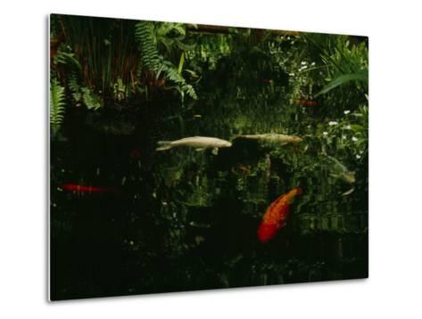 Orange and White Japanese Koi Drift in a Pond Near Green Ferns--Metal Print