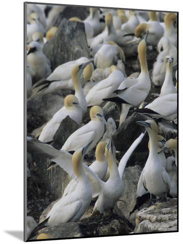 Northern Gannets and Chicks Roost on Cliffs Above the Atlantic Ocean-Norbert Rosing-Mounted Photographic Print