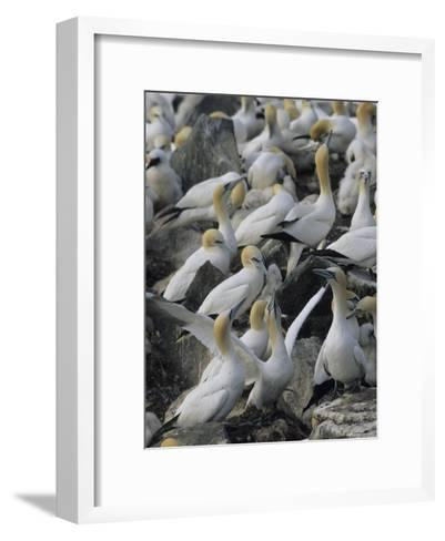 Northern Gannets and Chicks Roost on Cliffs Above the Atlantic Ocean-Norbert Rosing-Framed Art Print