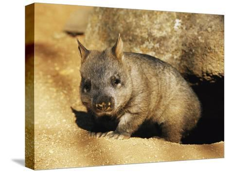 A Juvenile Southern Hairy-Nosed Wombat Emerging from Its Burrow; the Wombat is Seven Months Old-Jason Edwards-Stretched Canvas Print