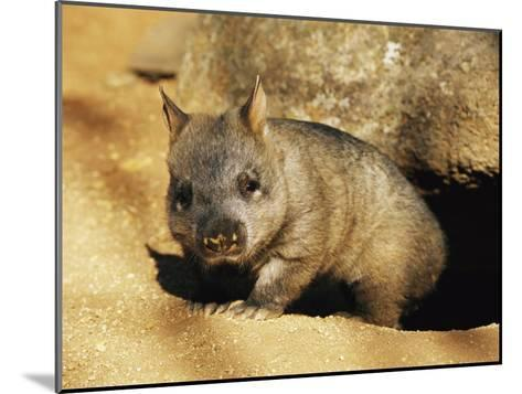 A Juvenile Southern Hairy-Nosed Wombat Emerging from Its Burrow; the Wombat is Seven Months Old-Jason Edwards-Mounted Photographic Print