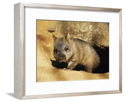 A Juvenile Southern Hairy-Nosed Wombat Emerging from Its Burrow; the Wombat is Seven Months Old-Jason Edwards-Framed Art Print