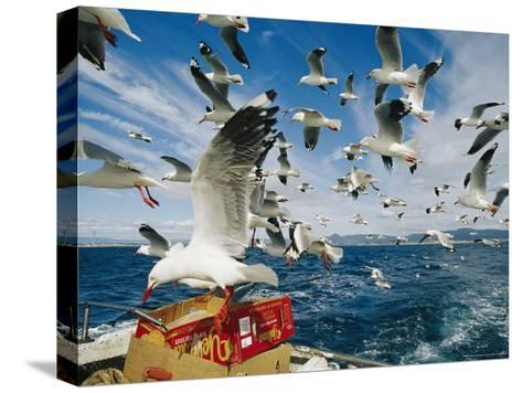 Silver Gulls Feed on Fish Scraps on the Back of a Boat-Jason Edwards-Stretched Canvas Print