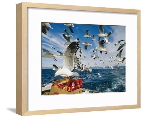 Silver Gulls Feed on Fish Scraps on the Back of a Boat-Jason Edwards-Framed Art Print