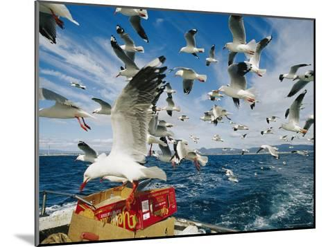 Silver Gulls Feed on Fish Scraps on the Back of a Boat-Jason Edwards-Mounted Photographic Print
