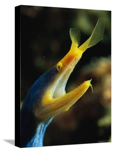 A Blue Ribbon Eel Gulping Water Over Its Gills-Tim Laman-Stretched Canvas Print