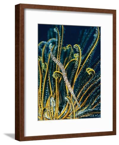A Trumpetfish Among the Fronds of a Crinoid-Tim Laman-Framed Art Print