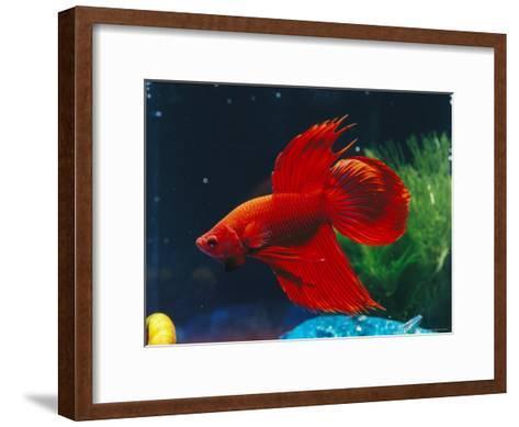 A Red Siamese Fighting Fish in an Aquarium-Jason Edwards-Framed Art Print