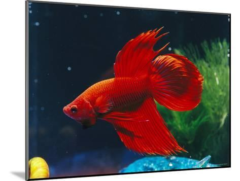 A Red Siamese Fighting Fish in an Aquarium-Jason Edwards-Mounted Photographic Print