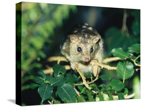 A Rare Northern Quoll, an Animal Almost Extinct Due to the Cane Toad-Jason Edwards-Stretched Canvas Print