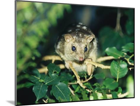 A Rare Northern Quoll, an Animal Almost Extinct Due to the Cane Toad-Jason Edwards-Mounted Photographic Print