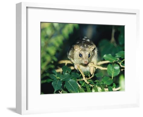 A Rare Northern Quoll, an Animal Almost Extinct Due to the Cane Toad-Jason Edwards-Framed Art Print