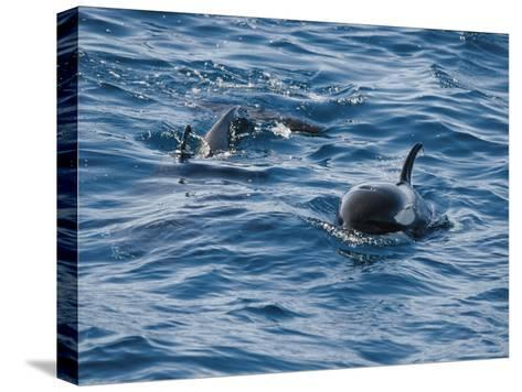 A Pair of Killer Whales Swimming Near the Continental Shelf-Jason Edwards-Stretched Canvas Print