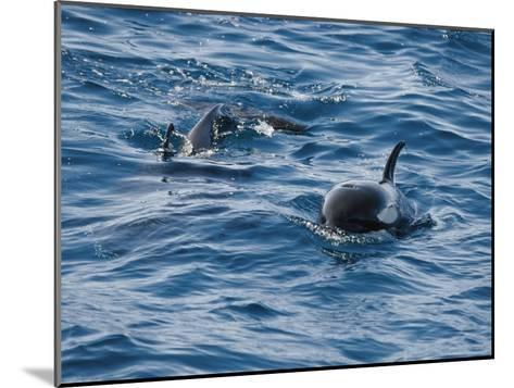 A Pair of Killer Whales Swimming Near the Continental Shelf-Jason Edwards-Mounted Photographic Print