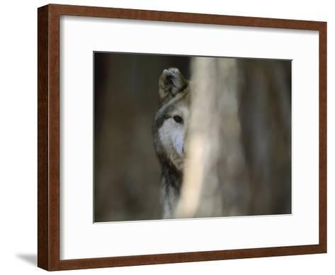 A Captive Mexican Gray Wolf Peers from Behind a Tree Trunk-Joel Sartore-Framed Art Print