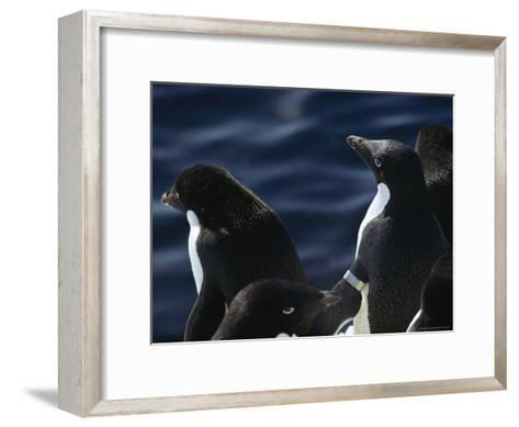 Adelie Penguins Stand at the Waters Edge-Bill Curtsinger-Framed Art Print