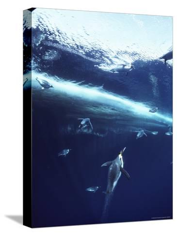 Emperor Penguins Swim Underwater in Search of Squid-Bill Curtsinger-Stretched Canvas Print