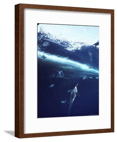 Emperor Penguins Swim Underwater in Search of Squid-Bill Curtsinger-Framed Art Print