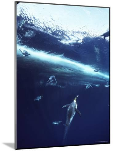 Emperor Penguins Swim Underwater in Search of Squid-Bill Curtsinger-Mounted Photographic Print