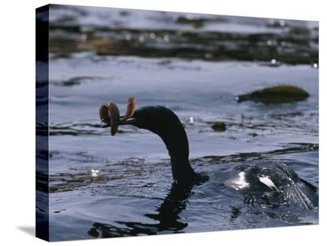 A Cormorant Eats an Eel in a Kelp Bed-Bill Curtsinger-Stretched Canvas Print