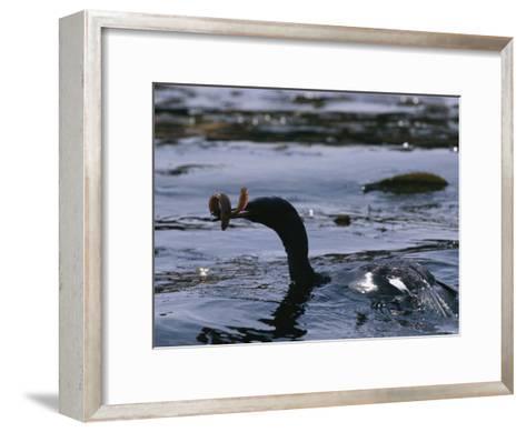 A Cormorant Eats an Eel in a Kelp Bed-Bill Curtsinger-Framed Art Print