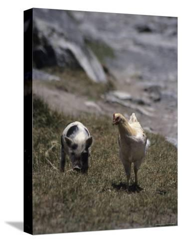 A Pig and Chicken Walk on the Slope of a Hill-David Evans-Stretched Canvas Print