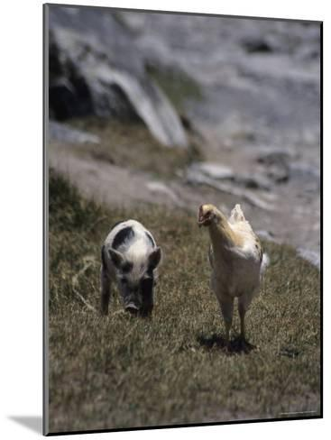 A Pig and Chicken Walk on the Slope of a Hill-David Evans-Mounted Photographic Print