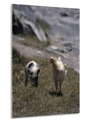 A Pig and Chicken Walk on the Slope of a Hill-David Evans-Metal Print