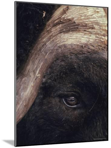 Musk Ox Eye and Horn-George F. Herben-Mounted Photographic Print