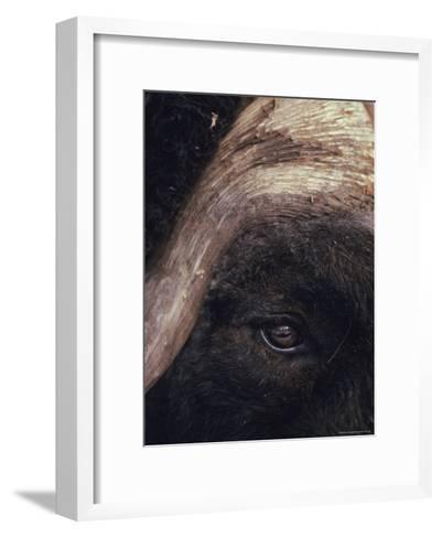 Musk Ox Eye and Horn-George F. Herben-Framed Art Print