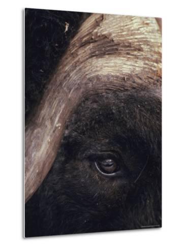 Musk Ox Eye and Horn-George F. Herben-Metal Print