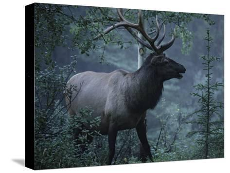 Adult Bull Elk with Antlers in a Woodland Landscape-George Herben-Stretched Canvas Print