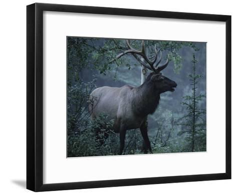 Adult Bull Elk with Antlers in a Woodland Landscape-George Herben-Framed Art Print