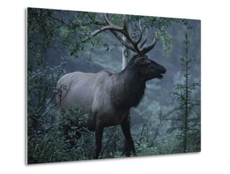 Adult Bull Elk with Antlers in a Woodland Landscape-George Herben-Metal Print