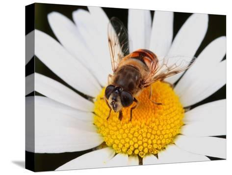Drone Fly, Earistalis Species, a Honey Bee Mimic, Feeding on Nectar-George Grall-Stretched Canvas Print