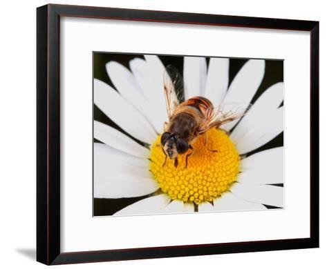 Drone Fly, Earistalis Species, a Honey Bee Mimic, Feeding on Nectar-George Grall-Framed Art Print