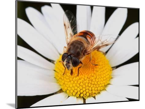 Drone Fly, Earistalis Species, a Honey Bee Mimic, Feeding on Nectar-George Grall-Mounted Photographic Print