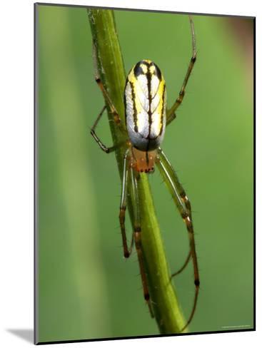 Portrait of a Venusta Orchard Spider, Leucauge Venusta-George Grall-Mounted Photographic Print