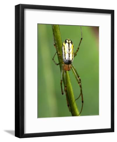 Portrait of a Venusta Orchard Spider, Leucauge Venusta-George Grall-Framed Art Print